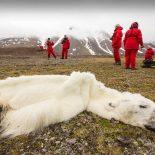 Un-ours-polaire-a-l-agonie-devient-le-symbole-du-rechauffement-climatique