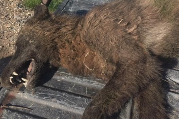 Aux USA, un animal inconnu découvert dans le Montana !