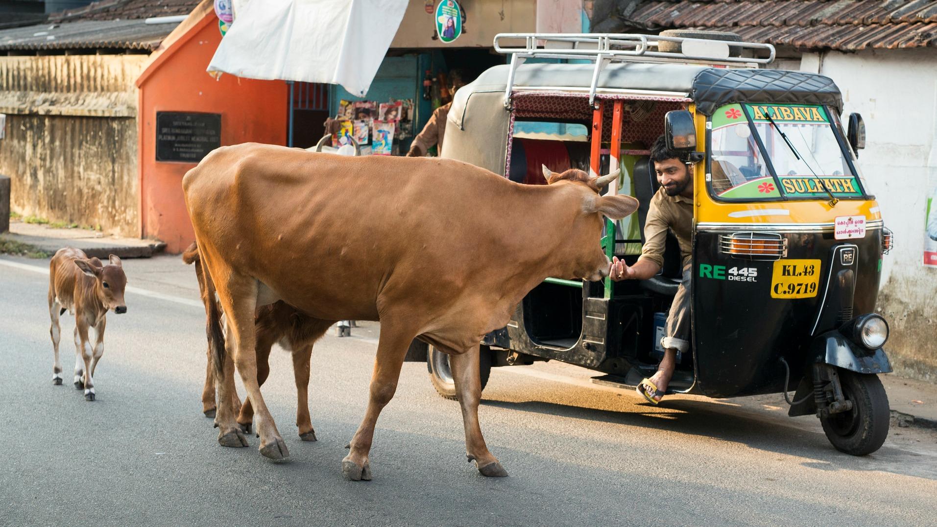 Inde : un homme battu à mort pour avoir tué une vache